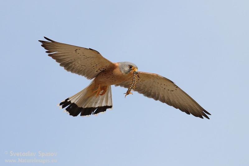 Falco Falco